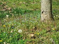 Dandelion and spring flowers along the path, in March.