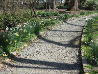 Daffodils along the path.