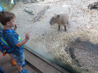 A boy checks out a Capybara.