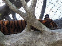 Tiger sleeping above us.