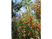 Red bottle brush flowers.