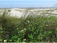 Flowers near the dunes.