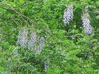 Wisteria in the forest.