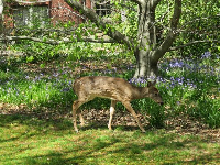 Deer amid the flowers, in early April.