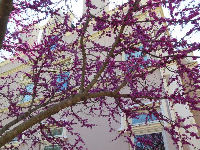 Purple tree and YMCA building.