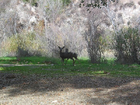 Deer at Santa Ynez River. Look at those big ears!