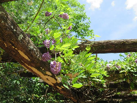 Purple wisteria vine on the arbor, and blue sky, May 6.