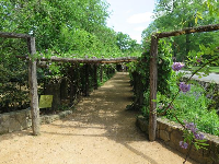The arbor when in bloom with purple wisteria, May 6.