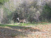 A deer runs by at Santa Ynez River, near the parking lot.