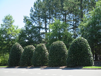 Cute manicured mistletoe bushes at the entrance to Meadowmont.