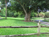 Banyan tree near the entrance to the park.