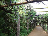 Purple wisteria flowers hanging from the arbor.