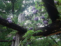 Purple wisteria flowers at the arbor at the beginning of May.