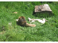 A lion getting super comfortable in the sun.