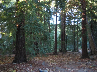 Redwood forest, at Santa Barbara Botanic Garden.