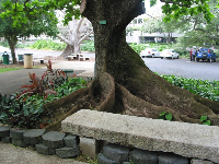 Some lovely tree roots and a bench, outside Foster Botanical Garden.