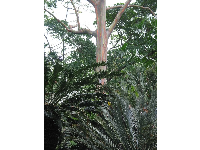 The Mindanao Gum from New Guinea. The colors on its trunk are gorgeous. This tree is a giant!