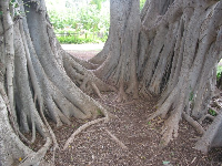 The Banyan tree by the playground has amazing roots.