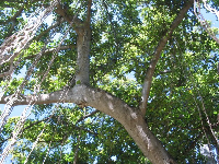 Looking up at the Banyan tree, with its perfect swinging ropes.