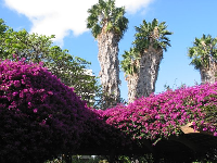 Amazing purple bougainvillea and California palms, on the Hale Koa grounds.
