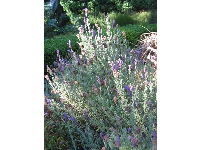 Lavendar- late afternoon in the garden at Old Monterey Inn.