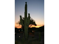 A flowering saguaro cactus in Carefree.