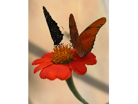 Butterflies enjoying a Mexican Sunflower.