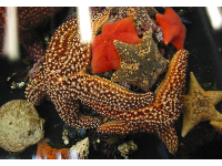 Starfish, sea urchins, and other cool creatures at The Reef touch tanks.