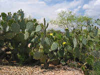 Cactus ears, possibly as effective as garlic, could come in handy.