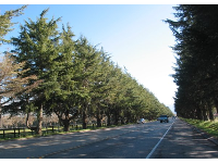 I love this row of trees on Highway 246 between Buellton and Solvang!