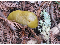 A Santa Cruz banana slug!