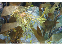 Incredible camouflaged sea horse that looks like leafy seaweed.
