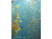School of small silver fish and wonderful swaying kelp in the Kelp Forest tank.