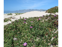 Purple succulents and dunes.