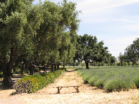 Row of olive trees planted by Spanish missionaries almost 200 years ago.