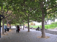 Rows of elegant London Plane trees.