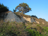 The cliffs to the east of Bacara Resort Beach, upon which stand a long strand of Monterey Cypress trees.