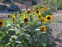 Sunflowers in the parking lot.