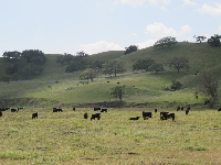 Oh how the cows along Highway 5 wish they could be a cow in Los Olivos!