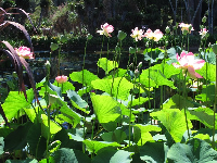 Lotus flowers and the pond beyond.
