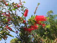 Red bottlebrush offset by tropical greenery on Florida Rd.