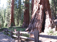 Bachelor and the Three Graces- giant Sequoias that have intertwined roots.