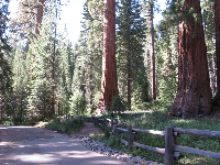 Forest of giant Sequoias.
