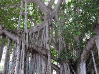 Looking up at the branches of the banyan tree.
