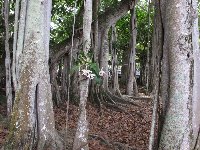 Orchids growing on banyan tree.