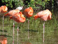 Caribbean flamingoes sleeping on one leg.