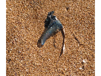 Yikes! A blue bottle on the shore.