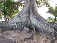 The Kapok tree.