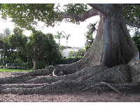 The amazing roots of the Kapok tree!