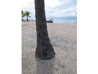 Palm tree trunk at Islander Resort.